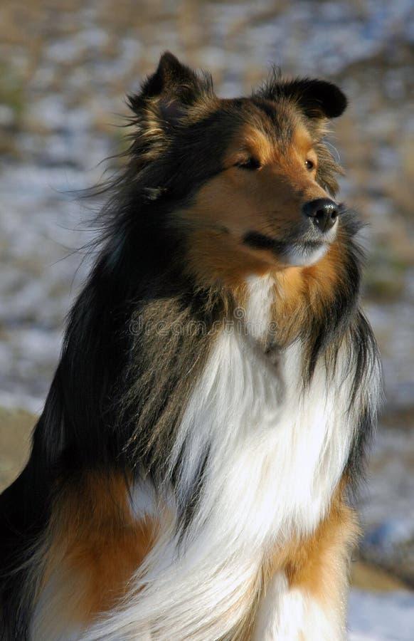 Sheltie in Lassie pose royalty free stock photos