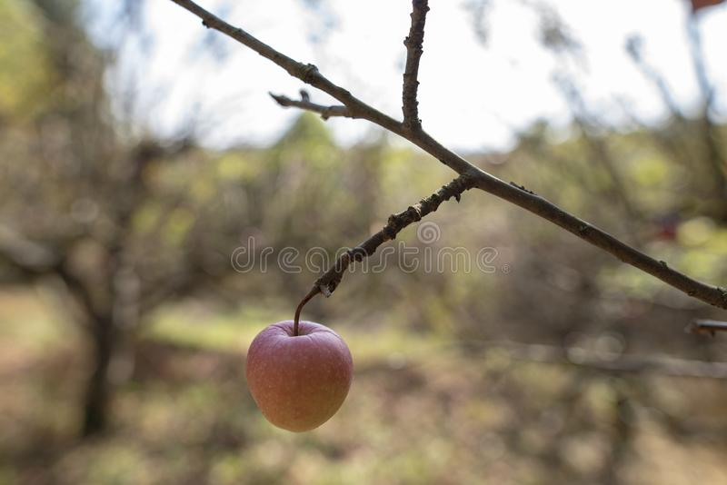 Last one apple on the tree in the autumn royalty free stock image