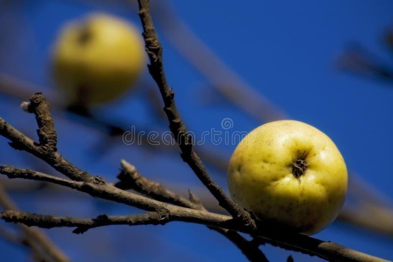 Last apples royalty free stock image