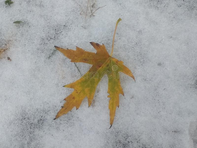 last autumn leaf on the snow royalty free stock photography