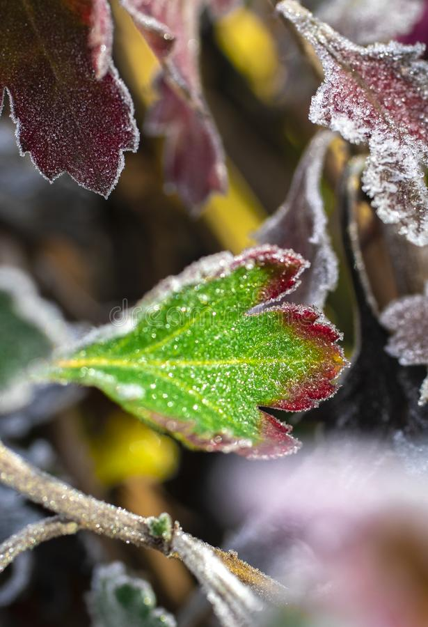 The last beauty of the frosty flower stock photo