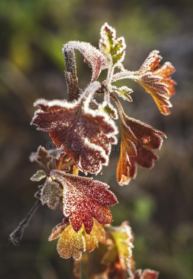 The last beauty of the frosty Flower stock image