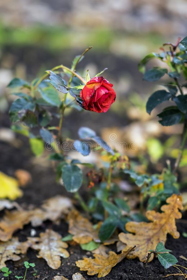 Last blooming rose on the background of fallen autumn oak leaves. Concept of nostalgia, mood royalty free stock image