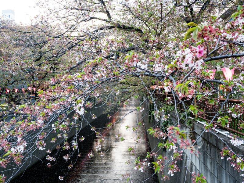 Last cherry blossoms of the season on Meguro river, a popular sakura viewing spot in Tokyo. Tokyo, Japan - April 2, 2018: Last cherry blossoms of the season on stock photo