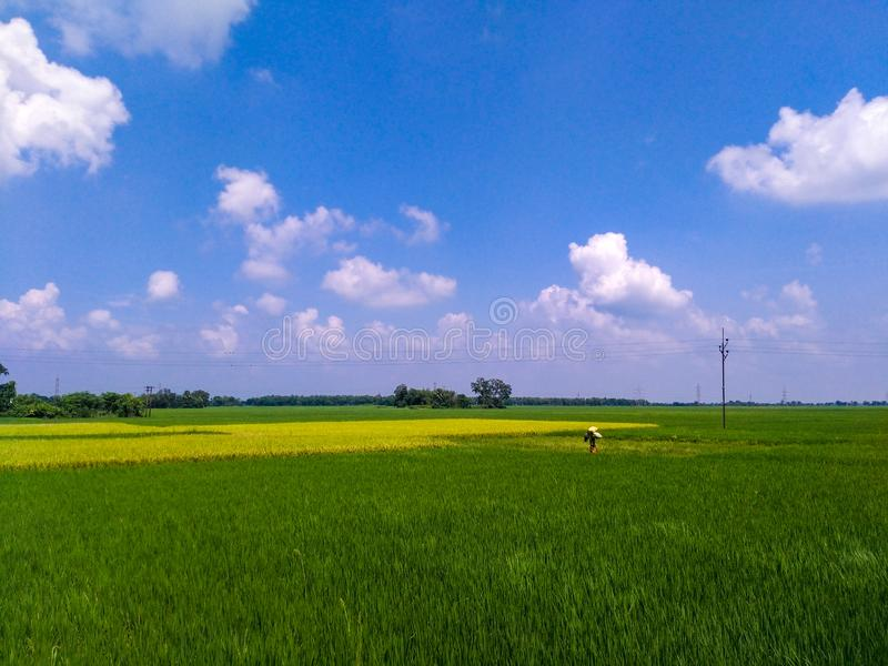 The last corp field in India. Beautifull corp fields in india West Bengal produsing rice in India royalty free stock image