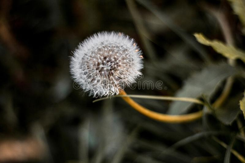 The last dandelion. Autumn in the forest. Macro. natural still life. fragility and beauty stock image