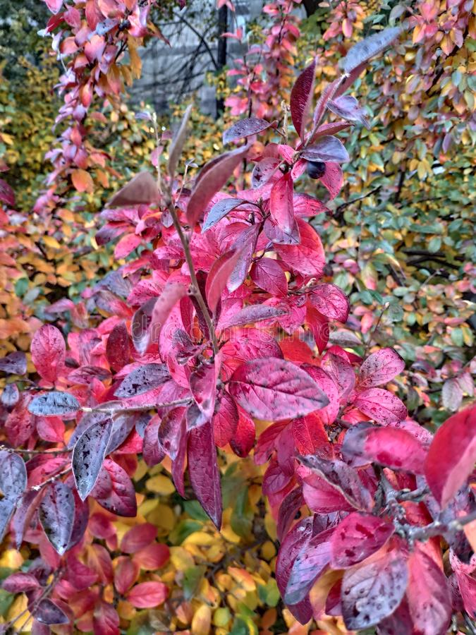 Last days of autumn. Nature, red, pink, leaves, beaty royalty free stock photo