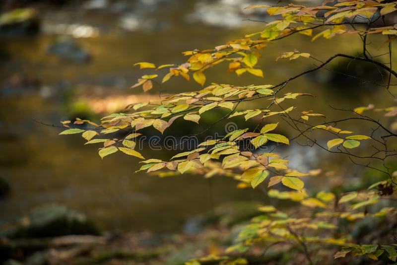 The last days of fall. Autumn leaves hang on to the last days of the season before falling to float along the big bushkill creek stock images