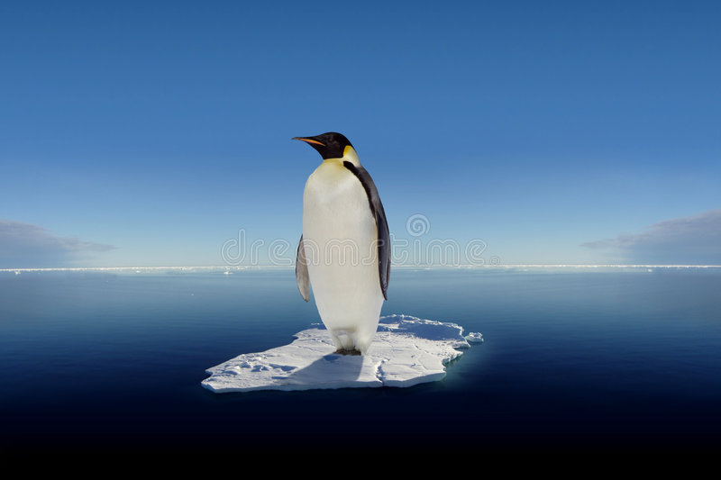 The last emperor. A lone Emperor Penguin stands atop a small floating ice floe stock photos