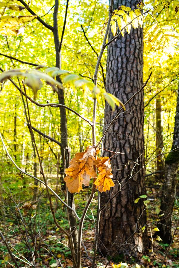 last fallen oak leaves on twig lit by sun royalty free stock photo