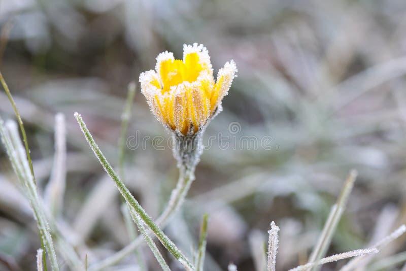 Last orange flower in frost on a frosty day stock photo