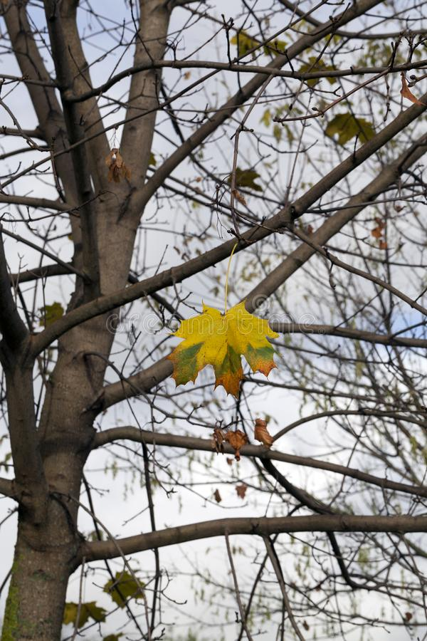 Last yellow leaves. The last foliage on the maple trees in late autumn, cold days in the forest stock images