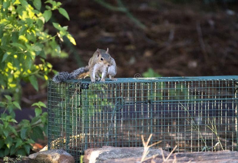 Last Gray Squirrel in menselijke val wordt gevangen die stock foto