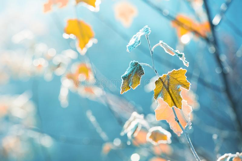 Last autumn leaves covered with morning frost, outdoor background royalty free stock photos