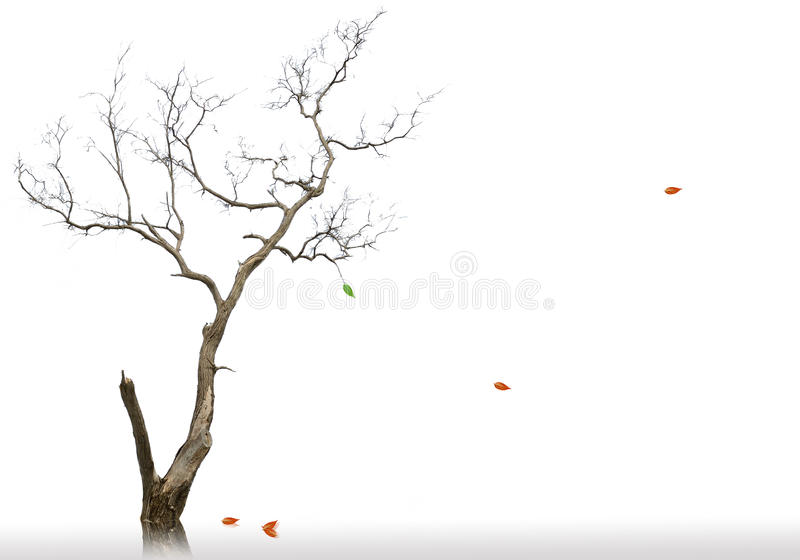 The last leaf of dead and dry tree royalty free stock image