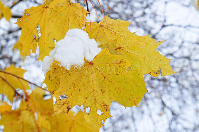 Last leaf on tree branch with snow pick on it stock images