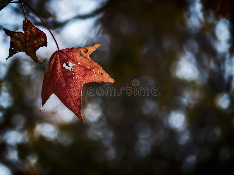Last Leaves of Autumn. As Autumn ends and winter nears, a leaf with a heart shape symbol waits to fall royalty free stock photography