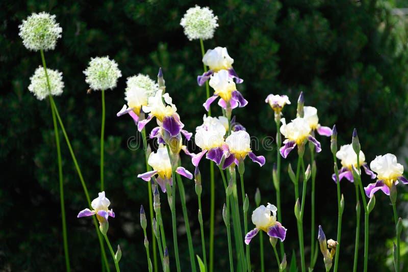 Allium and iris flowering in spring garden stock images
