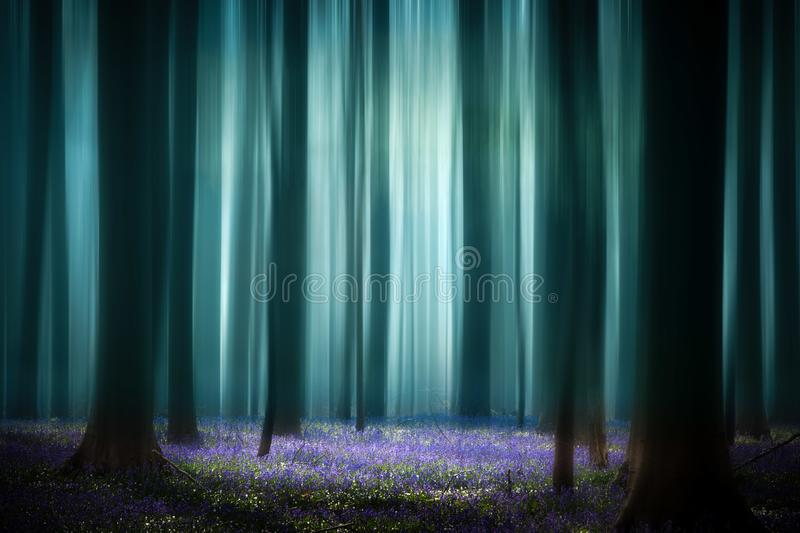 Mystical misty spring pristine beech forest royalty free stock photography