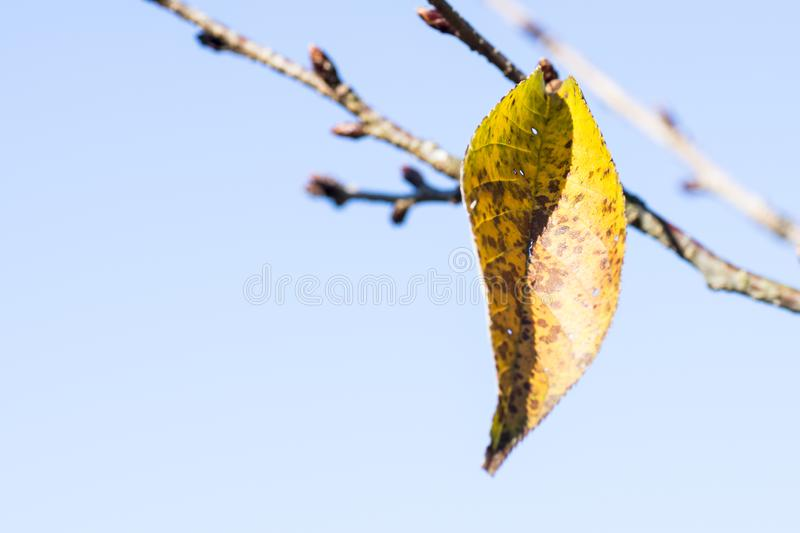 A yellow orange leaf of cherry blossom tree last one left in autumn or fall. royalty free stock photo