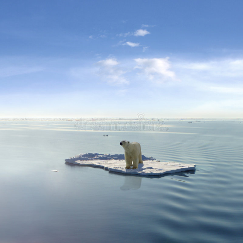 The last Polar Bear stock photos