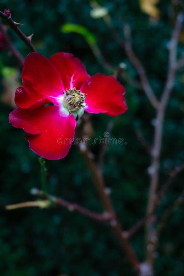 Last rose in autumn stock images