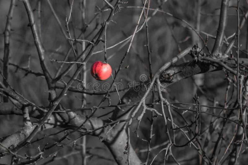 Last rotten apple royalty free stock image