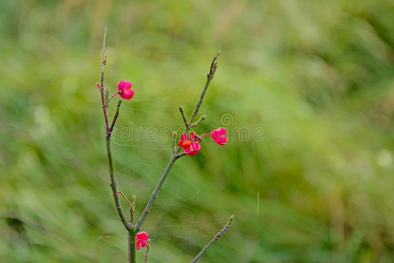 Last Spindle Tree flowers on a winter branch, Selective Focus stock photo