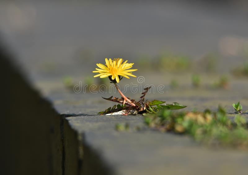 Lastonkruid of mooie wilde bloem? stock foto's