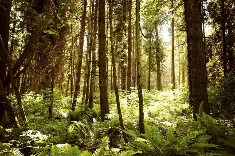 lasu światło zdjęcia royalty free