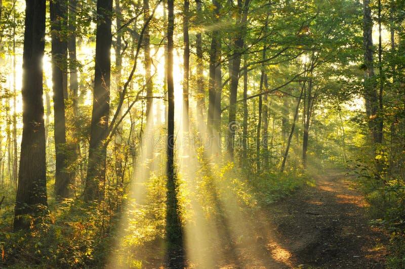 Lasu świt obrazy stock