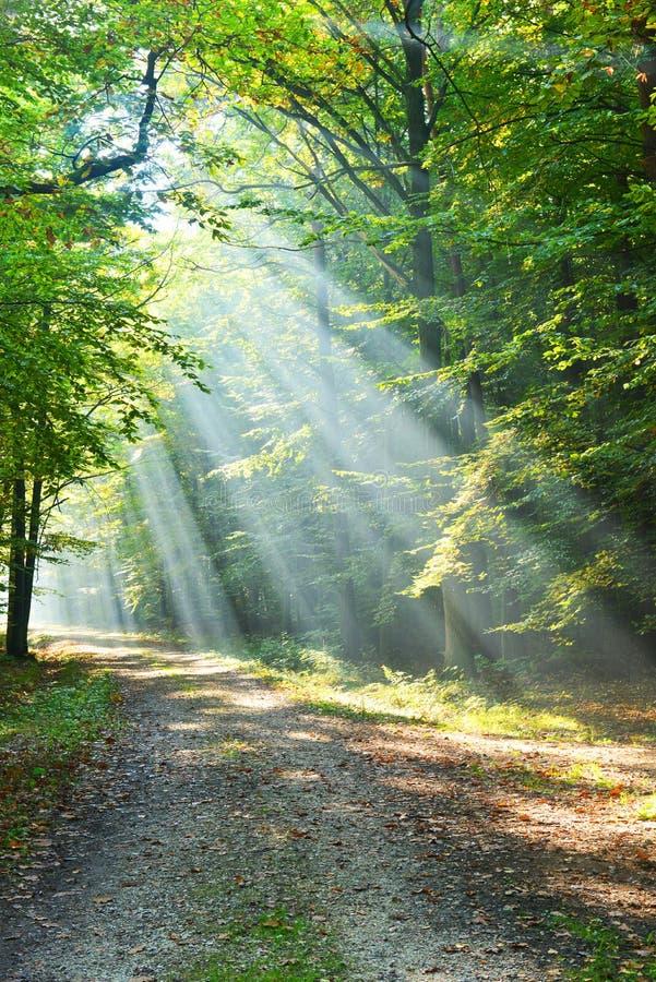 Lasu świt obrazy royalty free