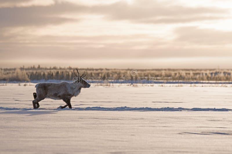 Lasu caribou w drodze zdjęcia stock