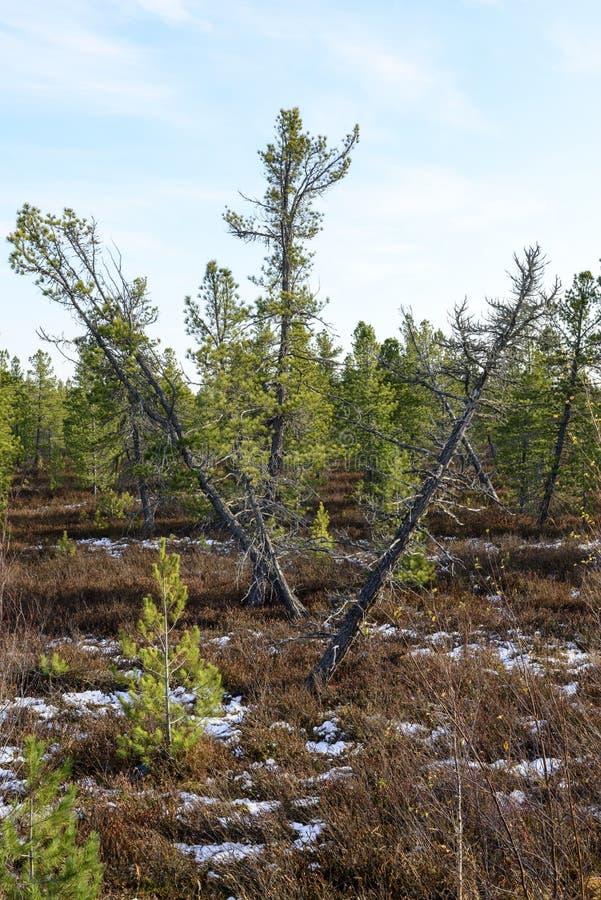 Lasu krajobraz w jesieni w Rosyjskiej tajdze obraz royalty free