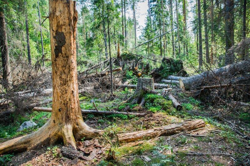 Lasu krajobraz z łamanymi drzewami zdjęcia stock