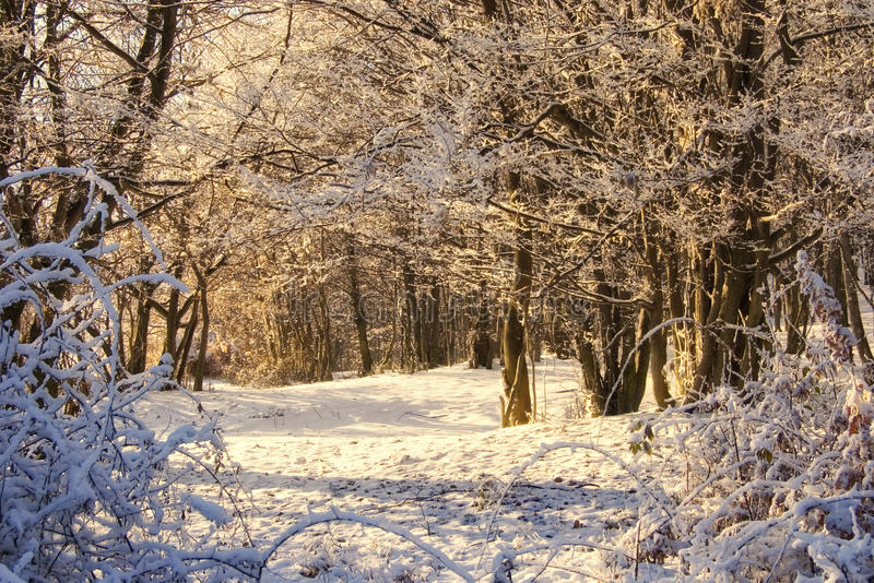Lasu lekka ranek sceny zima