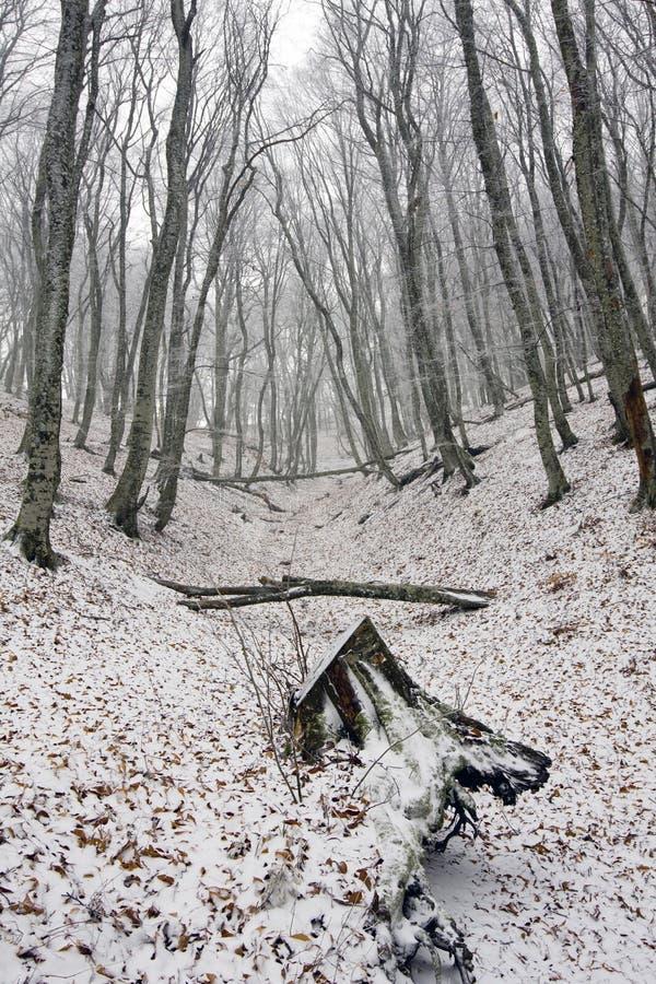 lasu pierwszy śnieg zdjęcie royalty free