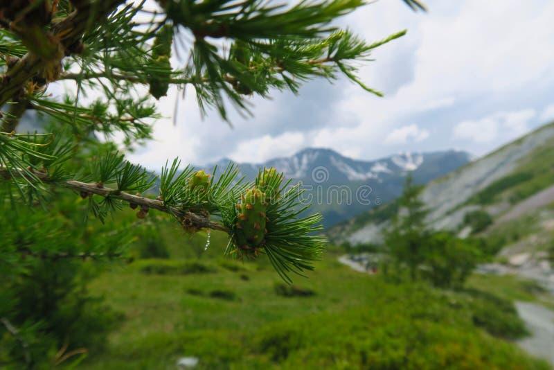 Lasu rożek w halnych lasowych Altai górach siberia Rosja zdjęcie royalty free