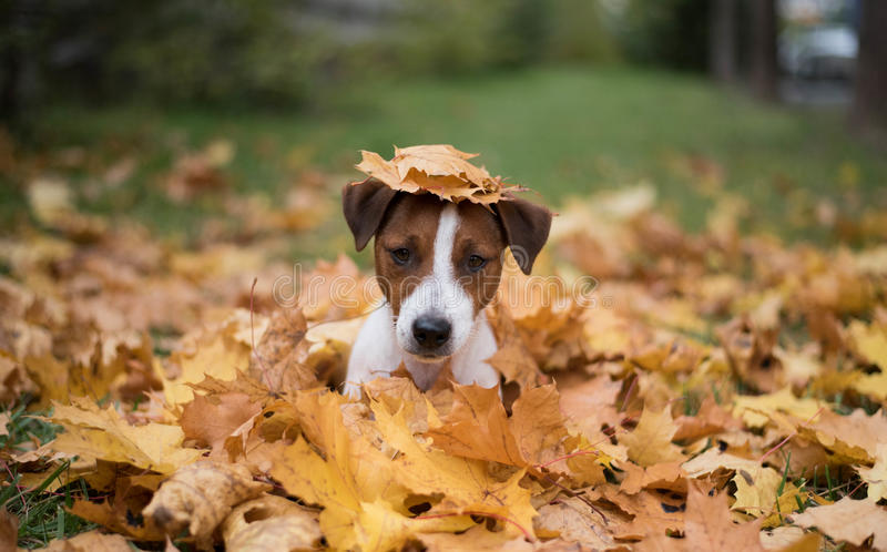 Jack Russell Terrier dog in autumn leaves stock image