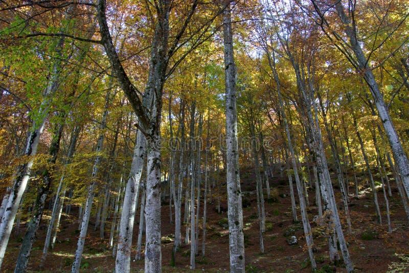 Lasy Cansiglio, Włochy obraz stock