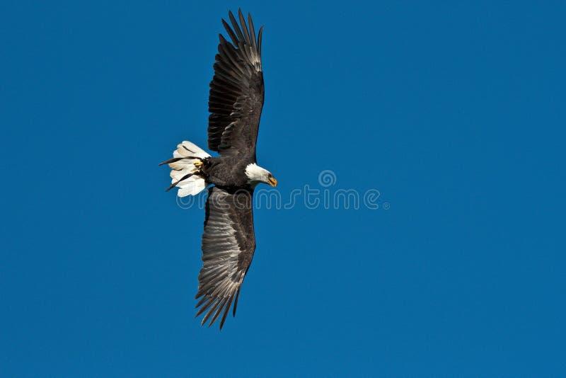 Lat летая белоголового орлана leucocephalus haliaeetus в парке стоковое изображение