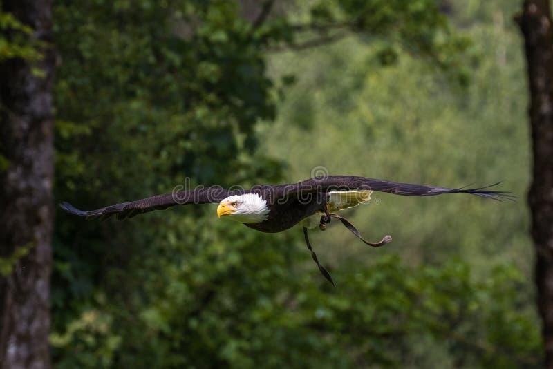 Lat летая белоголового орлана leucocephalus haliaeetus в парке стоковое фото rf