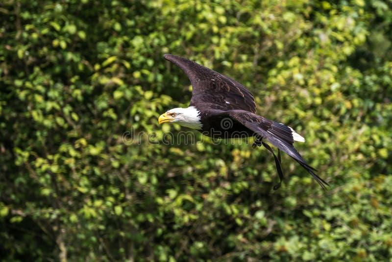 Lat летая белоголового орлана leucocephalus haliaeetus в парке стоковое фото