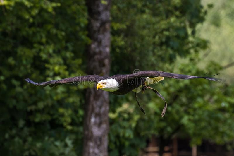Lat летая белоголового орлана leucocephalus haliaeetus в парке стоковые фотографии rf