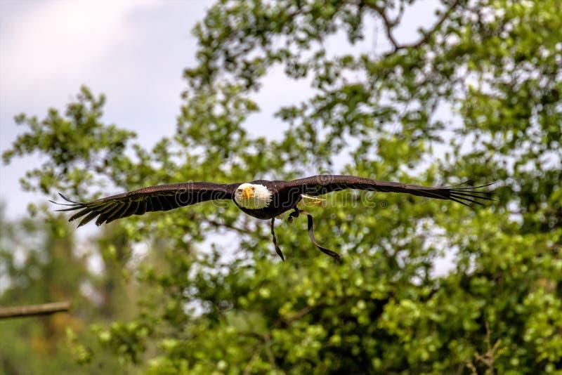 Lat летая белоголового орлана leucocephalus haliaeetus в парке стоковые изображения