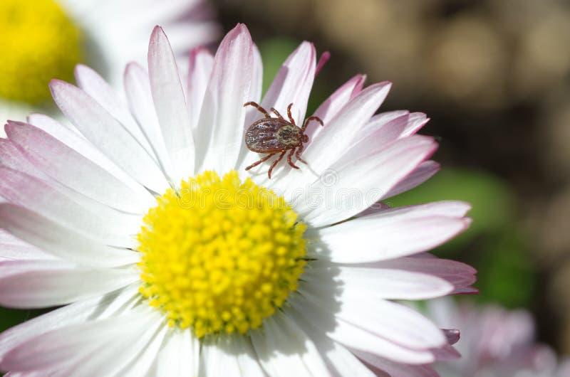 Lat тикания Клещ на цветке маргаритки стоковое фото
