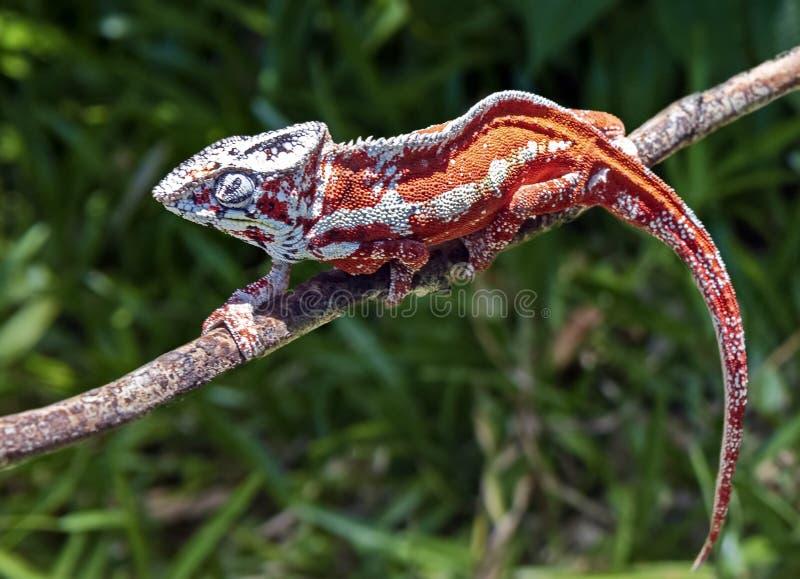 Lat хамелеонов € Chamaeleonidae» семья ящериц приспособленных к древообразному образу жизни, способному для изменения цвета тела стоковое фото rf