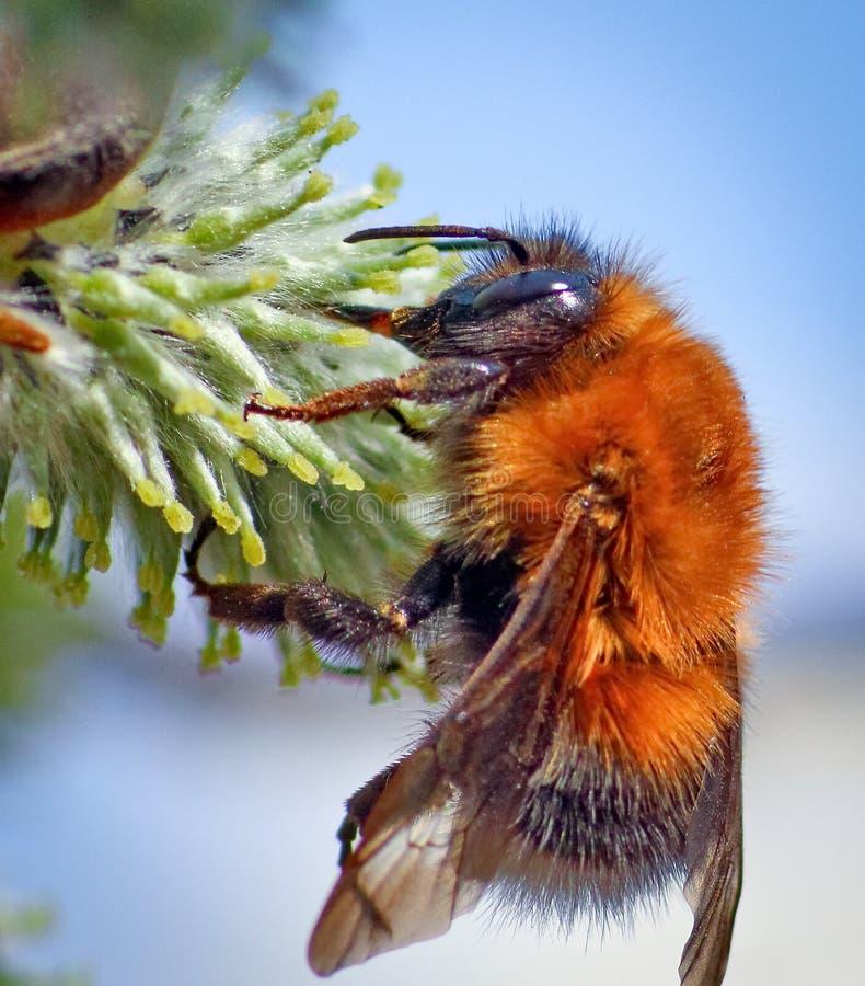 Lat шмеля Bombus closeup Насекомое от семьи реального lat пчел Apidae, во многих отношениях близко к пчелам меда стоковые изображения