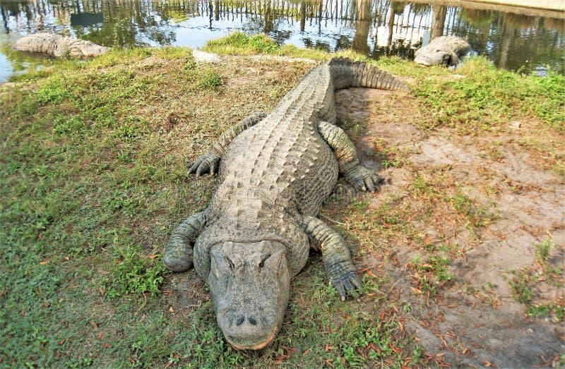 Lat alligator som vilar på banken royaltyfria foton
