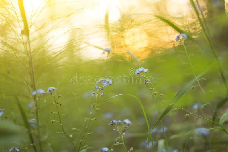 Lat błękitni wildflowers i zielone rośliny na łące zamykają w górę światła słonecznego w Abstrakcjonistycznej natury zamazany t?o obraz royalty free